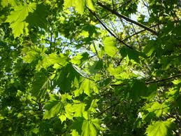stunningly more stunningly original green sunny leaves by annamaetezuka on