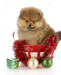 fluffy pomeranian puppy sitting in basket with christmas