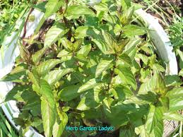 herb garden lady is your source for growing and using herbs