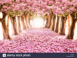 falling petal the tunnel of pink flower trees stock