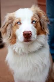 australian shepherd blue eyes australian shepherd aussies treats more pinterest