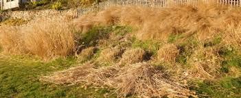 cutting back ornamental grasses lindy sinclair