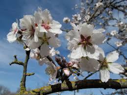 100 cherry blossom tree fruit prunus cerasifera hessei