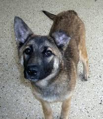 belgian sheepdog georgia little lost chainofhope u0027s blog