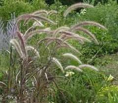 143 best grasses images on grasses ornamental grasses
