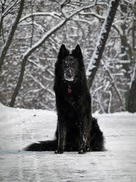 belgian sheepdog trials 14 best belgian sheepdog groenendael images on pinterest