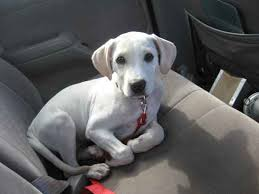 american pitbull terrier dalmatian mix labrabull mix of labrador retriever and american pit bull terrier