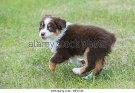 australian shepherd 6 weeks australian shepherd red tri intelligence stock photos u0026 australian
