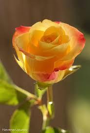 Golden Roses Golden Rose Beautiful Gorgeous Pretty Flowers Flores Pinterest