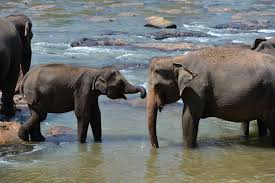 home pinnawala elephant orphanage sri lanka