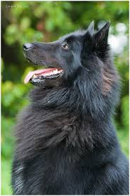 belgian shepherd rescue south africa 1017 best images about fur on pinterest wolves german shepherd