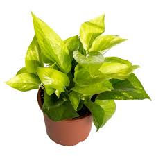 Indoor Plant For Office Desk 34 Poisonous Houseplants For Dogs Plants Toxic To Dogs Balcony