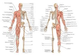 Human Figure Anatomy Anatomy And Physiology What U0027s The Difference Publish With