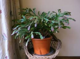 how to re pot a easter cactus schlumbergera