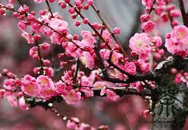 aliexpress buy flowering plum armeniaca mume seeds 60pcs