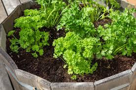 growing parsley in your garden