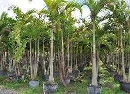 52 best florida wholesale plant nursery homestead palm nursery