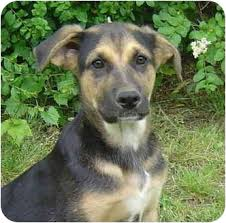 afghan hound and labrador retriever scruffy adopted dog pike road al german shepherd dog