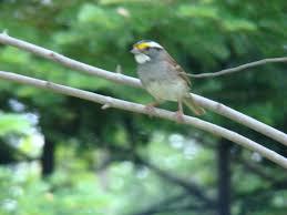 Sparrow by Sparrows Maine An Encyclopedia