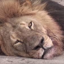 Lion Meme - cecil the lion s death know your meme