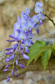 353 best wisteria images on pinterest wisteria flowers and