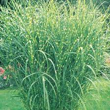 zebra ornamental grass provides an border michigan bulb