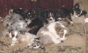 australian shepherd and cats what is a toy aussie