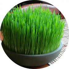 feline 101 cat safe grass and herb gardens for spoiled happy