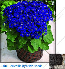 potted flowers true cineraria seed pericallis hybrida blue pink bonsai