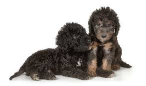 feeding a bedlington terrier bedlington terrier breed information