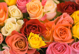 different color roses color pictures of roses beautiful pink roses may symbolize