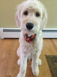 how to cut a goldendoodles hair 40 best pup images on pinterest goldendoodle grooming golden
