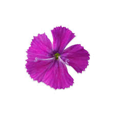 purple roses for sale edible micro dianthus flowers for sale marx foods