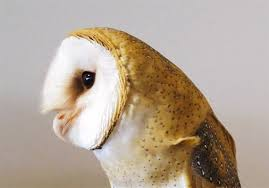 Where Do Barn Owls Live Let U0027s Talk About Birds Barn Owl Pittsburgh Post Gazette