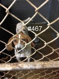 bluetick coonhound west virginia 1830 besten adoptable animals west virginia and nearby bilder auf