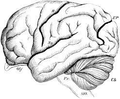 brain of the orangutan clipart etc
