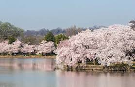 cherry blossom festival in washington dc family vacations u s