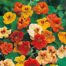 nasturtium flowers nasturtium mixed seeds from mr fothergill s seeds and plants