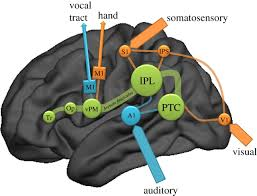 stone tools language and the brain in human evolution