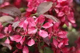 Profusion Flowering Crabapple - profusion flowering crabapple flowering trees stark bro u0027s