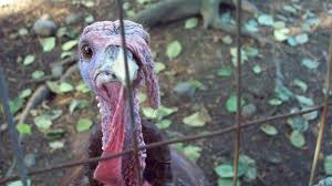 americans domesticated turkeys hundreds of years before