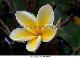 Plumerias The Most Famous Flowers Of Hawaii Plumeria Stock Photos U0026 The Most