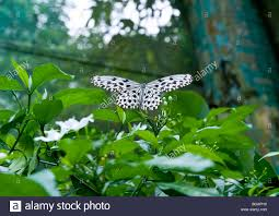 stunningly beautiful black dotted white birdwing butterfly resting