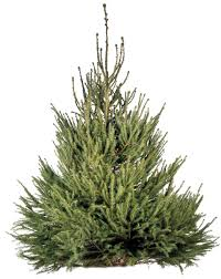 types of evergreen trees evergreen trees dk find out