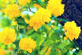 yellow flowers beautiful twig with yellow flowers macro stock photo