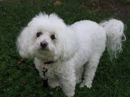 bichon frise training bichon frise breed and photos and videos list of dogs breeds