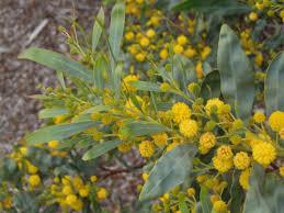 australian native plants society acacia pycnantha risk u2013 california invasive plant council