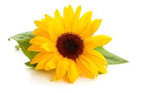 sunflower lecithin liquid non gmo