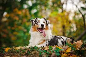 australian shepherd trackid sp 006 top dog an australian wallpapers