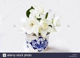 gardenia cuttings gardenia jasminoides on white background stock